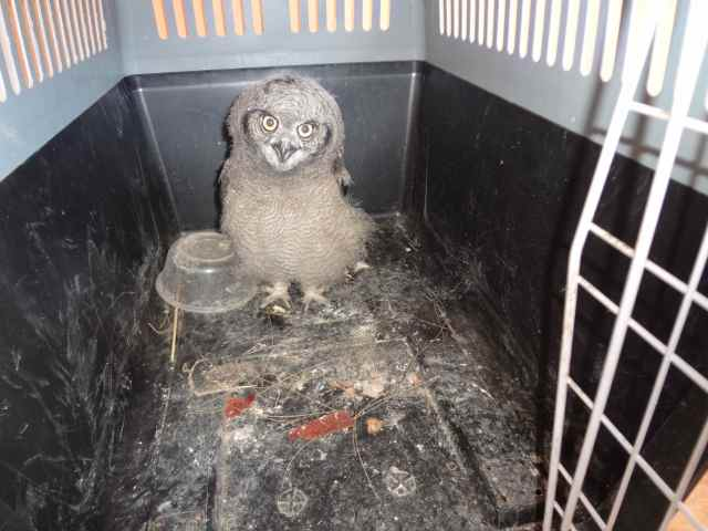 Nigel, the baby owl